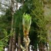 たらの芽の保存方法や選び方のコツ!たらの芽の栄養と効能は何?